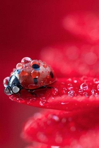 iPhone Wallpaper Red flower petals macro photography, dew, ladybug