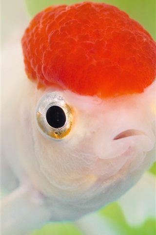 iPhone Wallpaper Red head goldfish
