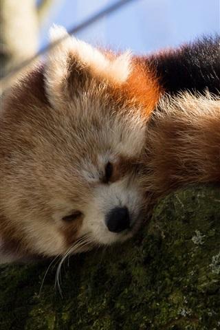iPhone Wallpaper Red panda falling asleep