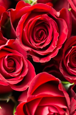 iPhone Wallpaper Red rose, many flowers, romantic