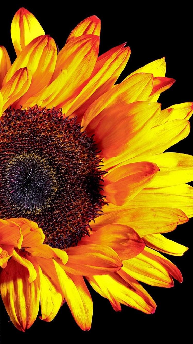Sunflower Photography Black Background 750x1334 Iphone 8 7