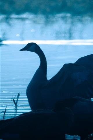 iPhone Wallpaper Swan in lake at dusk, wings