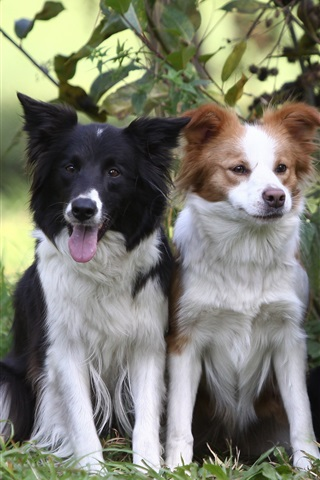 iPhone Wallpaper Three dogs, border collie