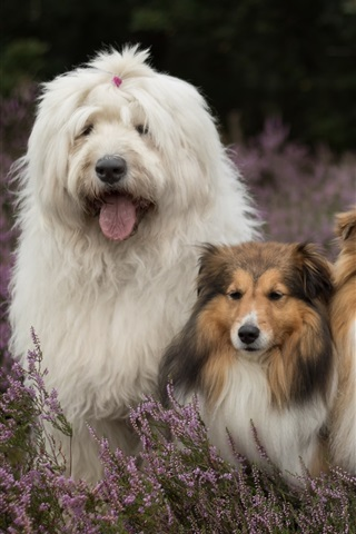 iPhone Wallpaper Three dogs in lavender flowers