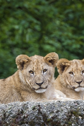 iPhone Wallpaper Three lions have a rest, animals photography