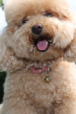 iPhone Wallpaper Toy poodle, cute puppy