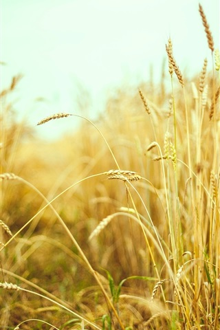 iPhone Wallpaper Wheat field, summer, macro photography