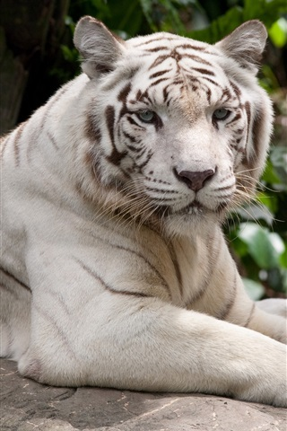 iPhone Wallpaper White tiger have a rest