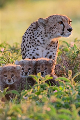 iPhone Wallpaper Africa, Tanzania, cheetahs in bushes, mother and cubs
