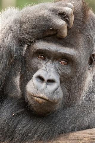 iPhone Wallpaper Animals close-up, orangutan, look, reverie