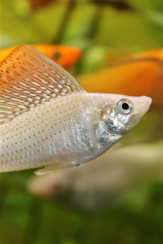 iPhone Wallpaper Aquarium, water, orange and white fish