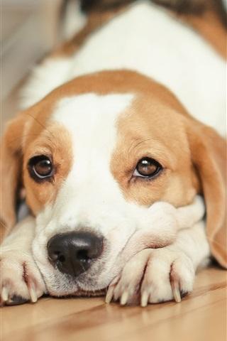 iPhone Wallpaper Beagle, dog, stretch