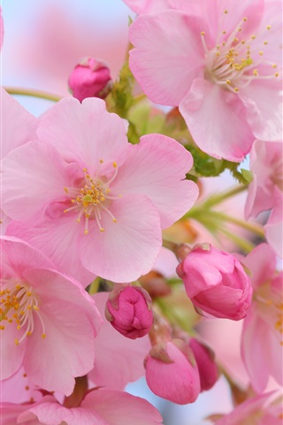iPhone Wallpaper Beautiful pink cherry flowers, blurry, spring