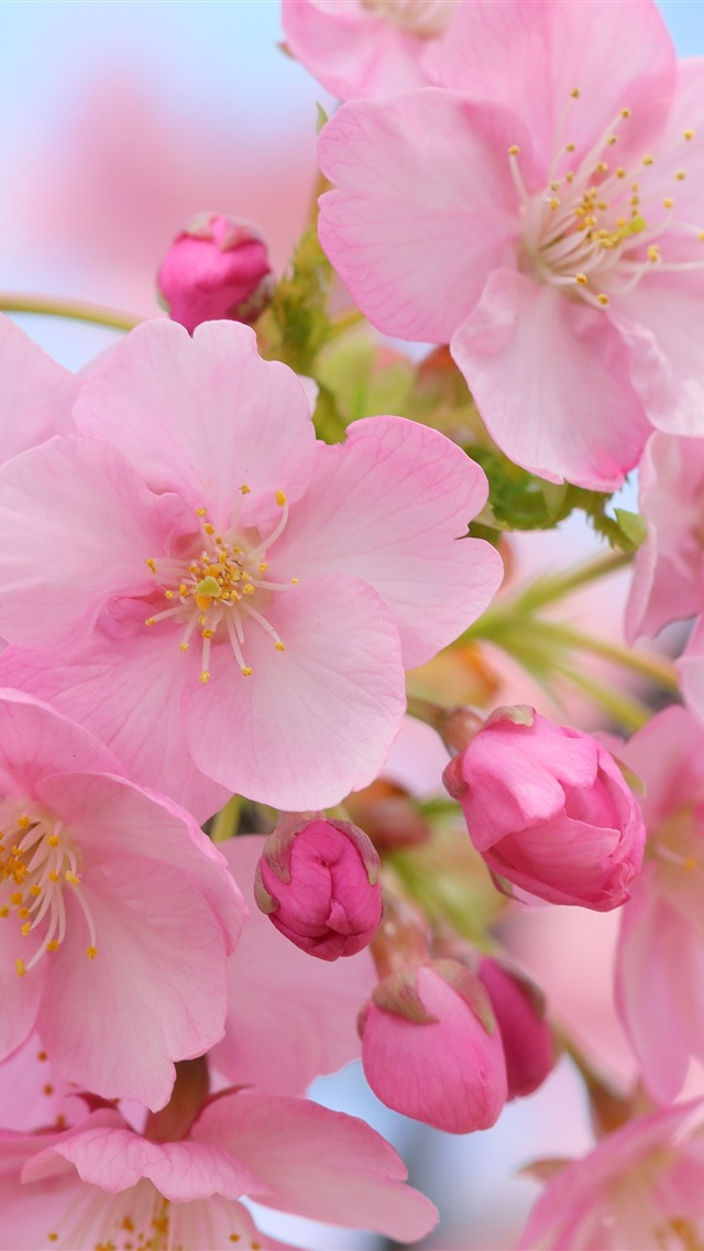 Wallpaper Beautiful Pink Cherry Flowers Blurry Spring