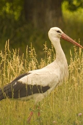 iPhone Wallpaper Bird close-up, stork walk in the grass