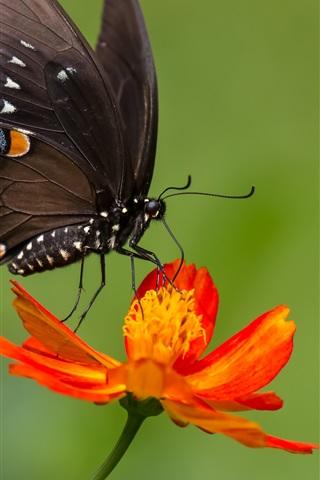 iPhone Wallpaper Black butterfly, orange color flower, zinnia