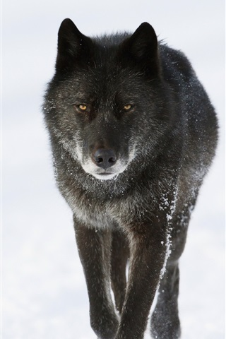 Black Wolf In Winter 750x1334 Iphone 8 7 6 6s Wallpaper Background Picture Image