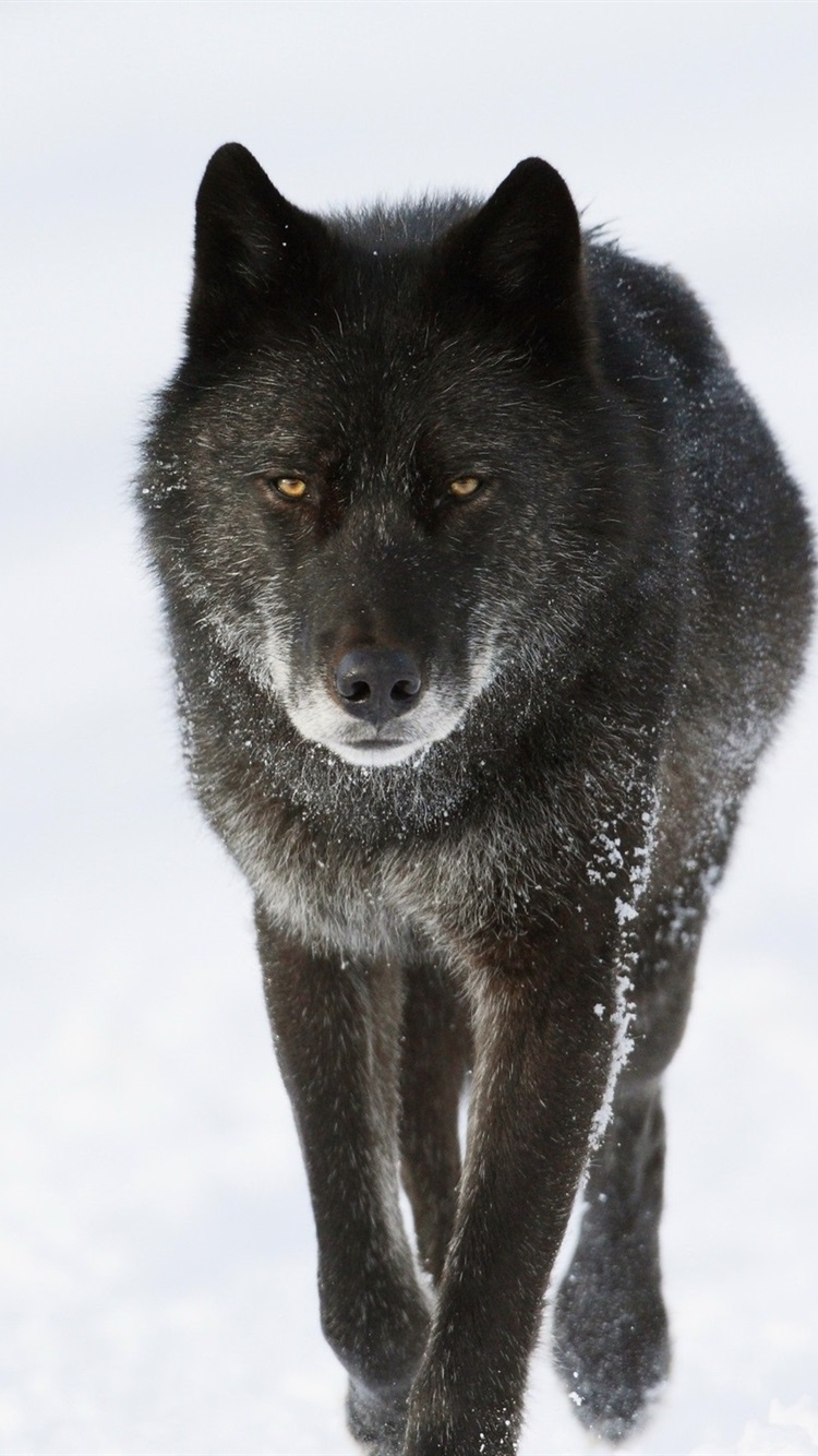Black Wolf In Winter 750x1334 Iphone 8 7 6 6s Wallpaper Background