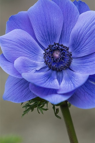 iPhone Wallpaper Blue flower close-up, anemone