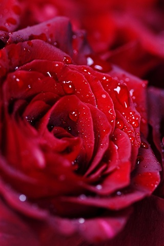 iPhone Wallpaper Bouquet red rose, water droplets