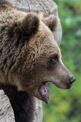 iPhone Wallpaper Brown bear, face, mouth