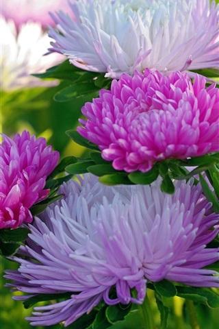 iPhone Wallpaper Chrysanthemum close-up, white and pink