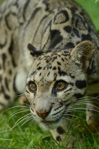 iPhone Wallpaper Clouded leopard, grass
