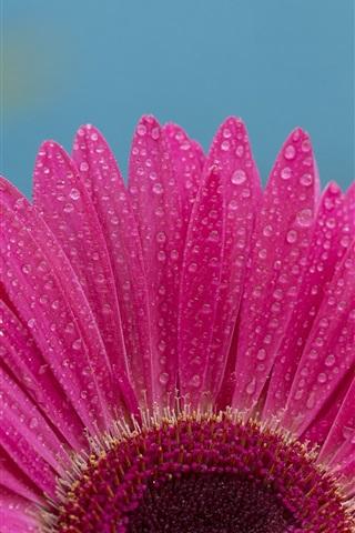 iPhone Wallpaper Gerbera flower macro photography, pink petals, water droplets