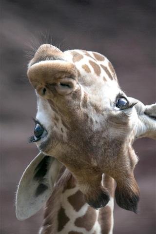 iPhone Wallpaper Giraffe look up, face
