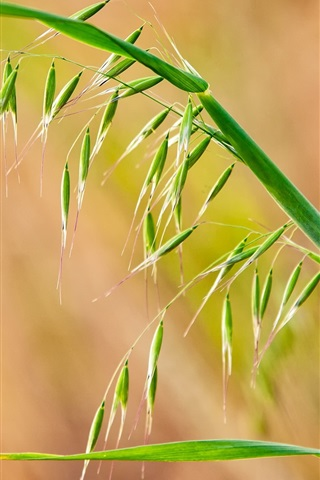 iPhone Wallpaper Grass close-up, seed, spikelets, leaves
