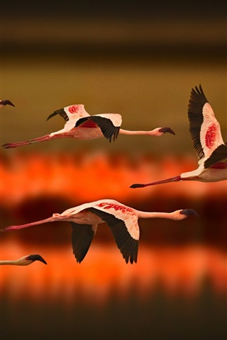 iPhone Wallpaper Greater Flamingos flying at sunset