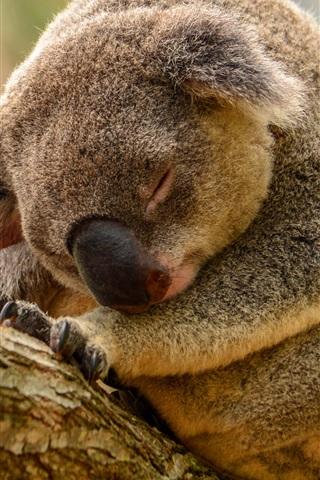 iPhone Wallpaper Koala sleep in tree