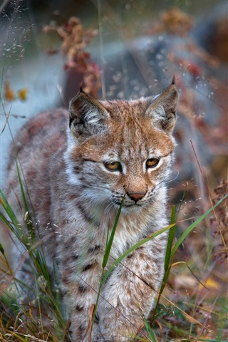 iPhone Wallpaper Lynx walk in grass, wild cat, predator