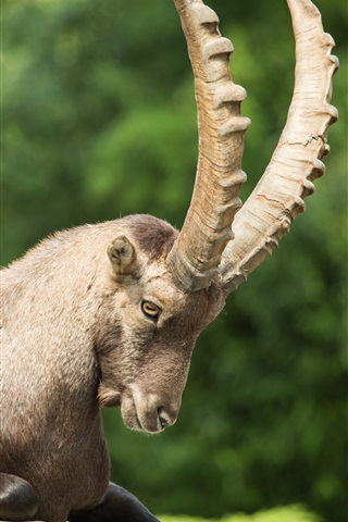 iPhone Wallpaper Mountain goat, ibex, claw
