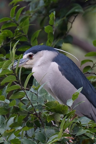 iPhone Wallpaper Night heron