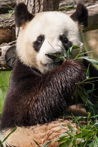 iPhone Wallpaper Panda eat bamboo