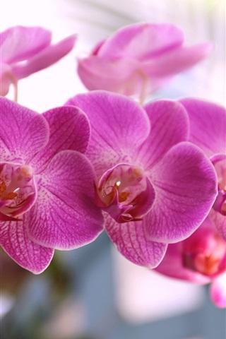 iPhoneの壁紙 胡蝶蘭、ピンクの花びら、花