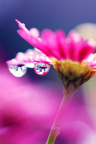 iPhone Wallpaper Pink flower macro photography, bright, water droplets, blurry