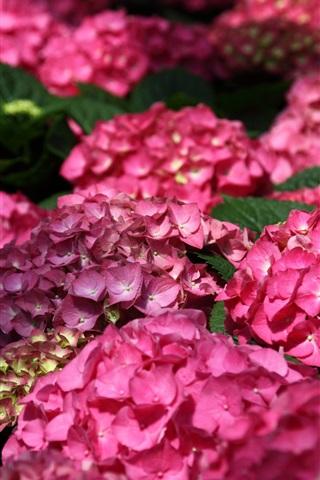 iPhone Wallpaper Pink hydrangea flowers