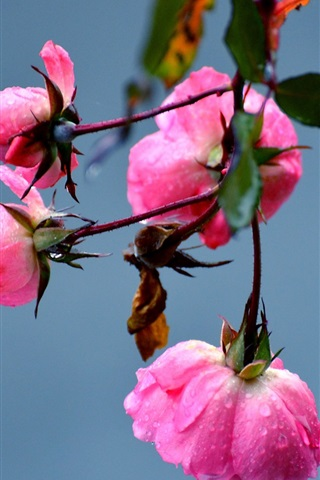 iPhone Wallpaper Pink rose flowers, dew