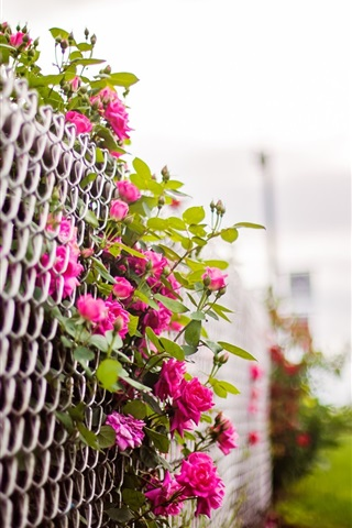 iPhone Wallpaper Pink rose flowers, fence, blurry background