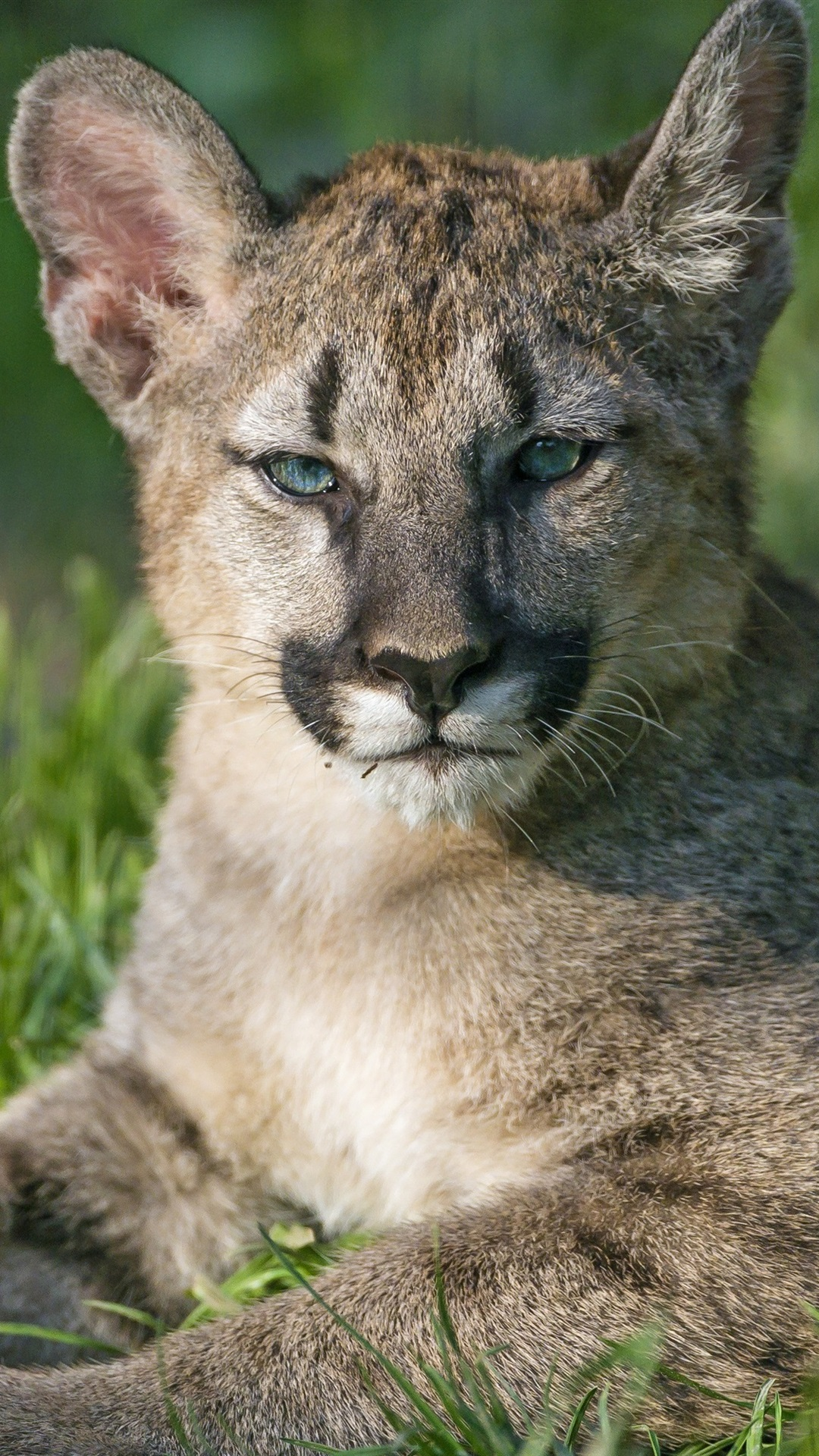 Puma Cubs Mountain Lion Grass 1080x1920 Iphone 8 7 6 6s Plus