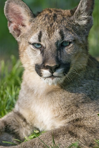 iPhone Wallpaper Puma cubs, mountain lion, grass