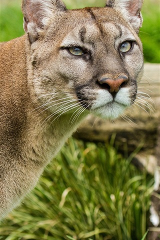 Puma Mountain Lion Face Grass 640x1136 Iphone 5 5s 5c Se