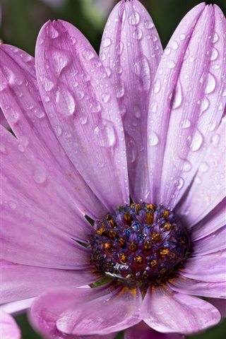iPhone Papéis de Parede flores roxas após a chuva, gotas de água