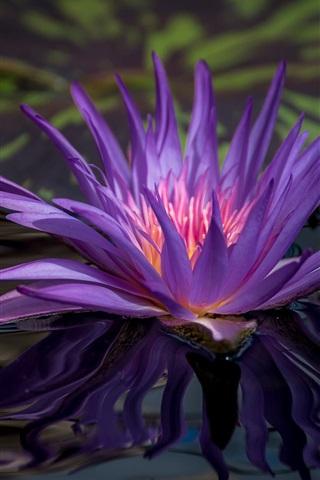 iPhone Hintergrundbilder Lila Seerose, Blume im Teich