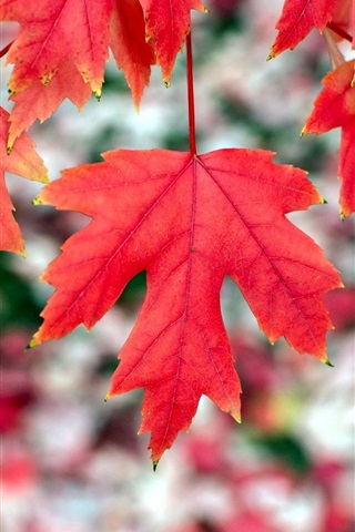 iPhone Wallpaper Red maple leaves, autumn, bokeh