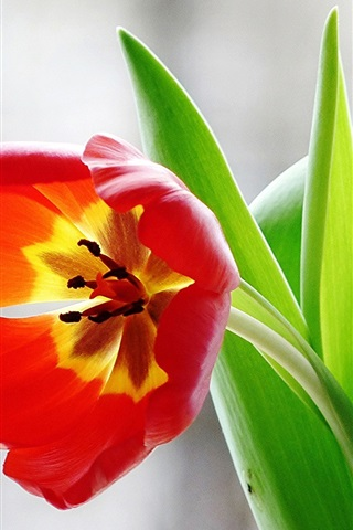 iPhone Wallpaper Red tulip flower, green leaves