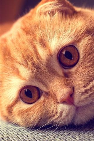 iPhone Wallpaper Scottish fold cat, portrait, want to sleep