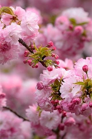 iPhone Wallpaper Spring, pink flowers blooms, tree, twigs